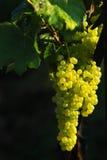 Smakelijke druiven op de zwarte Stock Foto