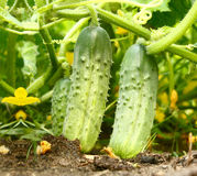 Smakelijke groene komkommers in een moestuin Stock Foto