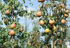Smakelijke peren van het sluiten Stock Foto's