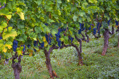 Smakelijke rijpe bossen van donkere druiven op de wijnstok Stock Foto's