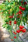 Smakelijke rode tomaten op de struiken Stock Foto's