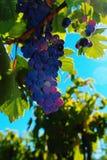 Smakelijke wijndruiven vóór oogst stock foto
