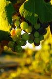 Smakelijke wijndruiven vóór oogst royalty-vrije stock afbeelding