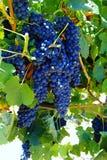 Smakelijke wijndruiven vóór oogst royalty-vrije stock afbeeldingen