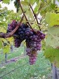 Smakelijke wijndruiven vóór oogst Stock Foto's