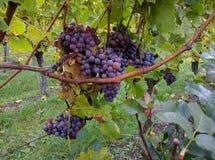 Smakelijke wijndruiven vóór oogst Royalty-vrije Stock Foto