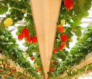 smaklig jordgubbe fotografering för bildbyråer