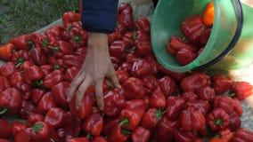 Smaklig mogen peppar mot efterkrav i hösten, ny organisk grönsak, paprikaodling Röd peppar, paprika, höstskörd lager videofilmer