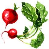 Smaklig röd trädgårds- rädisa Fotografering för Bildbyråer