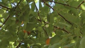 Smakliga aprikoshängningar på filialer stock video