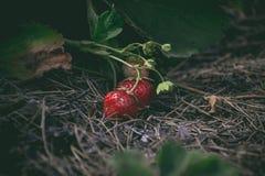 Smakliga röda nya jordgubbar i trädgården Arkivfoton