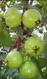 Smakligt guavaträd arkivbilder