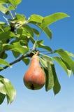 Smakligt ungt päron. royaltyfri fotografi