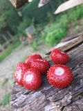smakligt wild för jordgubbar arkivfoton
