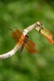 Smakołyk, Filigranowy Dragonfly fotografia stock