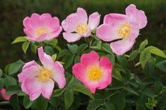 Smakołyk różowe małe róże w ogródzie różanym Retiro park Obrazy Royalty Free