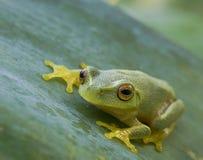 Smakołyk zielona drzewna żaba Litoria Gracilenta fotografia royalty free