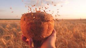 Smakowity bochenek chleb na palmach świeży żyto chleb nad dojrzałymi ucho z grainwheat adra spada na chlebie w rękach a zbiory wideo