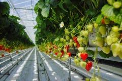 Smakowity organicznie truskawkowy przyrost w dużej Holenderskiej szklarni, everyda fotografia stock
