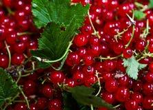 Smakowity rodzynek dojrzałe owoce obecna czerwony Zdjęcia Royalty Free