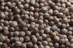 Smaktillsatskoriander kryddar coriandre för smaktillsatskorianderkorn Royaltyfri Bild