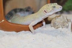 smal гекконовые леопарда Стоковые Фото