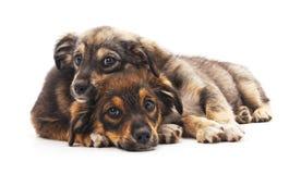 2 smal собаки Стоковая Фотография