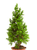 Smal fir tree Royalty Free Stock Photography