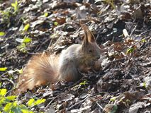 Smal funny squirrel sitting on ground and holding and eating nut. royalty free stock photo