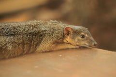 Smal-gestreepte mongoes Royalty-vrije Stock Foto's