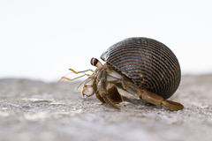 Smal Hermit crab Royalty Free Stock Photo