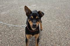 Smal hund (spanjorråttfångaren) Arkivbild