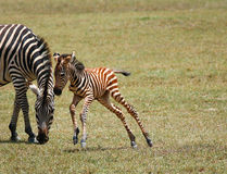 Smal jumping zebra Stock Photo