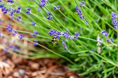Smal lavender plant in soil. Small lavender plant in wood chip soil stock photos