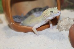 smal Leopard Gecko Royalty Free Stock Photography
