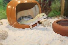 smal Leopard Gecko stock image