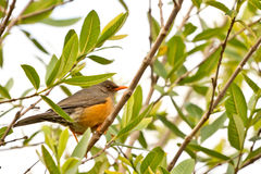 Smal orange beak bird Royalty Free Stock Photography