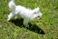 Smal white dog. The small white happy dog outdoors Stock Photos