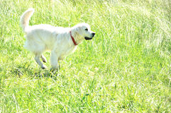 Smal white dog. The small white happy dog outdoors Stock Image