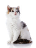 The smal white kitten with color spots Royalty Free Stock Photo