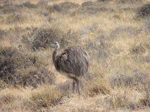Smaleer Patagoniastruts - Darwins nandu Arkivbilder