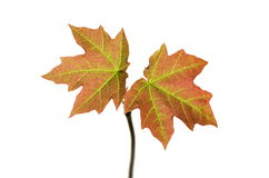 Small acer Stock Photography