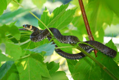 Small adder is an ambush in the bushes Stock Photography