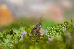 Small adolecent bird sitting in alpine meadow in the dew. Of morning in washington state royalty free stock images