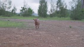 Small dog outdoors. Small adorable ginger dog Miniature Pinscher outdoors stock video footage