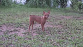 Small dog outdoors. Small adorable ginger dog Miniature Pinscher outdoors stock footage
