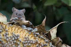 Small adorable mouse Royalty Free Stock Images