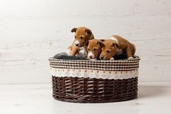 Three cute basenji puppies in basket royalty free stock photography