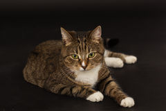 Small adult greeneyed tabby cat  on black Royalty Free Stock Image