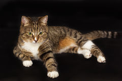 Small adult greeneyed tabby cat  on black Stock Photos